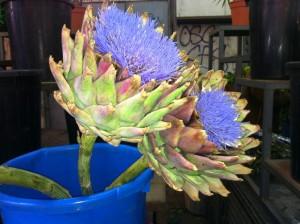 """הארטישוק ינקה את הכבד בעדינות ויגרום לו לעבוד טוב יותר. צולם בחנות פרחים בשוק הכרמל, תל אביב ע""""י חן אדדי."""