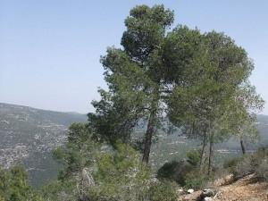 עץ אורן בירושלים