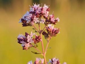 פרחי אורגנו