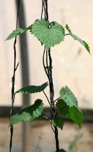 הצמח כשות או כשותית (Humulus lupulus) כפי שנצפה במושב ציפורי.